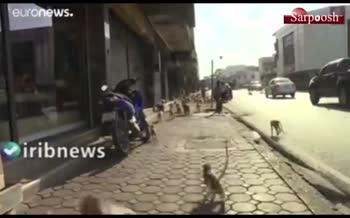 فیلم/ هجوم هزاران میمون به یکی از شهرهای تایلند