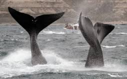 تصاویر تماشای نهنگ از نزدیک,عکس های تماشای نهنگ ن.سط توریست ها,عکس نهنگ ها از نزدیک