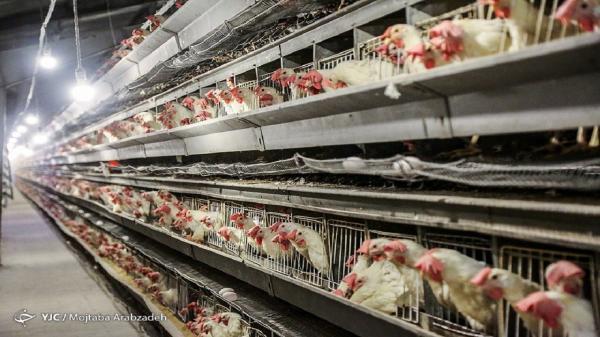 قیمت مرغ در مرداد 99,اخبار اقتصادی,خبرهای اقتصادی,کشت و دام و صنعت