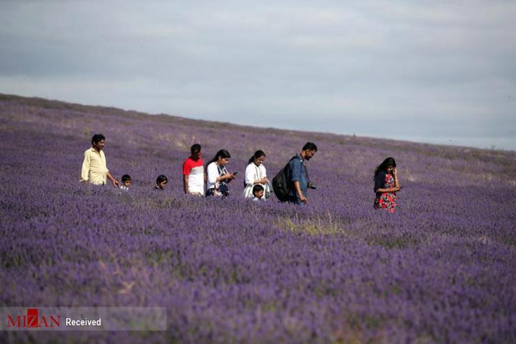 تصاویر استقبال مردم و گرفتن سلفی در مزرعه لاواندا بریتانیا,عکس های مزرعه لاواندا,تصاویر سلفی گرفتن در مزرعه لاواندا