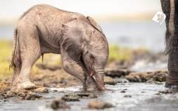 تصاویر کمک فیل مادر به فرزندش برای راه رفتن,عکس های یک فیل مادر,تصاویر فیل مادر