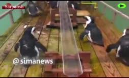 فیلم/ سنت چندساله ژاپنی ها در تابستان، غذا دادن به پنگوئن ها