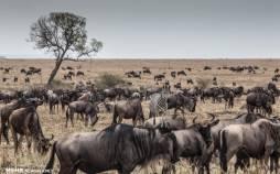 تصاویر مهاجرت بزرگ دسته جمعی حیوانات حیات وحش آفریقا,عکس های مهاجرت حیوانات در آفریقا,تصاویر حیات وحش آفریقا