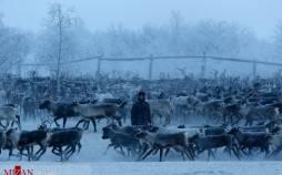 تصاویر گله گوزنها در قطب شمال روسیه,عکس های گوزن ها در روسیه,تصاویری از گوزن ها در روسیه