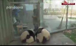 فیلم/ بازیگوشی پانداها در باغ وحش