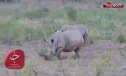 فیلم/ کرگدنی با شاخ برعکس در آفریقای جنوبی