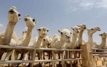 بیمارستان فوقپیشرفته شترها در عربستان,اخبار جالب,خبرهای جالب,خواندنی ها و دیدنی ها