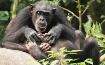 شامپانزه,اخبار علمی,خبرهای علمی,طبیعت و محیط زیست