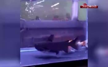 فیلم/ ماهی ماهیخوار در آکواریم! 