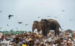 تصاویر فیل های زباله خوار,عکس های فیل های زباله خور,تصاویری از فیل های زباله خور در سریلانکا