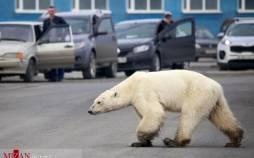 تصاویر زندگی خرسهای قطبی,عکس خرس قطبی,تصاویری از خرس های قطبی در روسیه