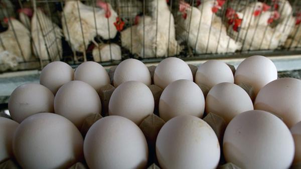 قیمت مرغ و تخم مرغ,اخبار اقتصادی,خبرهای اقتصادی,کشت و دام و صنعت
