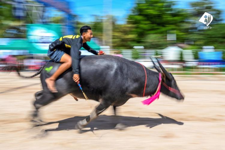 تصاویر جشنواره گاومیش سواری در تایلند,عکس های مسابقه گاومیش در تایلند,تصاویری از مسابقه با گاومیش در تایلند
