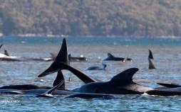 تصاویر خودکشی دستهجمعی نهنگها در سواحل تاسمانی,عکس های خودکشی نهنگ ها,تصاویر خودکشی نهنگ ها در سواحل تاسمانی