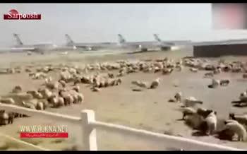 فیلم/ فرود اضطراری هواپیما حامل صدها گوسفند در فرودگاه امام خمینی (ره)
