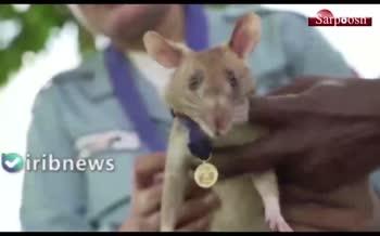 فیلم/ موشی که مدال طلا گرفت!