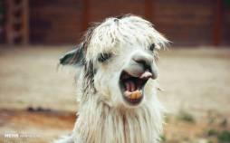 عکس حیوانات,تصاویری از خندیدن حیوانات,عکس های خنده حیوانات