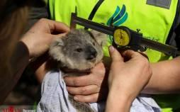 تصاویر کوالاهای استرالیا در آستانه انقراض,عکس های انقراض کوالاها در استرالیا,تصاویر کوالاها در استرالیا