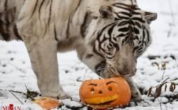 تصاویر جشن کدو حلوایی در باغوحش,عکس های بازی حیوانات با کدو تنبل در باغ وحش,تصاویری از جشن کدو حلوایی در باغوجش نووسیبیرسک روسیه