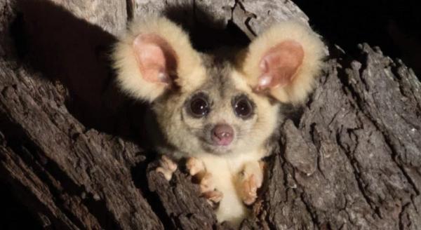 ۲ گونه جدید پستاندار در استرالیا,اخبار علمی,خبرهای علمی,طبیعت و محیط زیست
