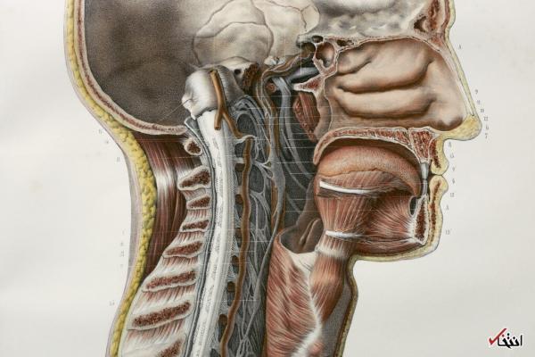 یک عضو جدید در بدن انسان,اخبار پزشکی,خبرهای پزشکی,تازه های پزشکی