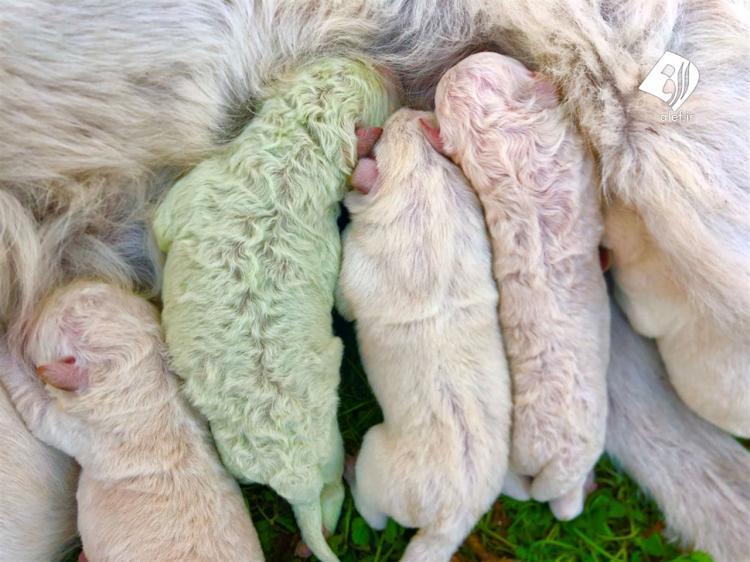 عکس های تولد سگ با موی سبز,تصاویری از یک سگ با موی سبز,تصاویر سگی با موی سبز
