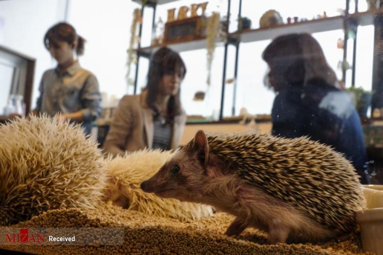 کافه جوجه تیغی در ژاپن,عکس های کافه جوجه تیغی در ژاپن,تصاویری از کافهای با ۳۰ جوجه تیغی در ژاپن