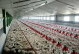 قیمت مرغ در تابستان99,اخبار اقتصادی,خبرهای اقتصادی,کشت و دام و صنعت