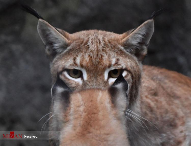 تصاویر سیاه گوش,عکس های سیاه گوش در روسیه,تصاویری از سیاه گوش ها در باغ وحش مسکو
