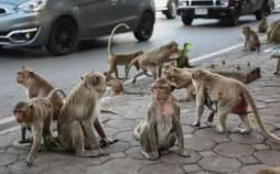 جشنواره عجیب بوفه میمونها