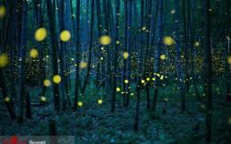 تصاویر کرمهای شب تاب در ژاپن,عکس های کرم شتاب در ژاپن,تصاویری از کرمهای شب تاب در ژاپن
