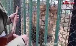 فیلم/ ساز زدن هاتف ملک شاهی برای شیر در قفس