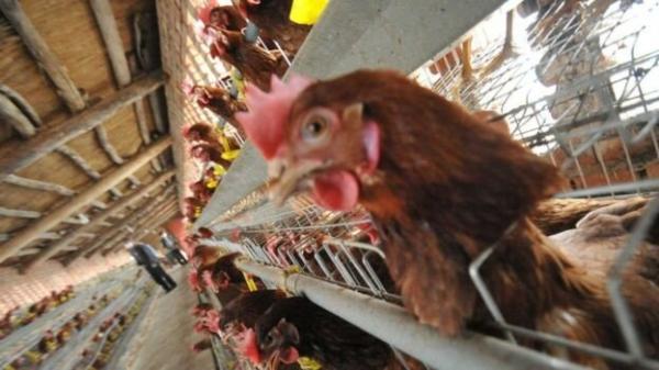 شیوع آنفلوآنزای پرندگان,سازمان دامپزشکی