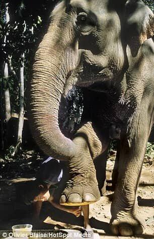 فیل,نقاشی فیل ها