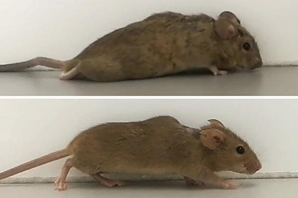 موش,موش معلول