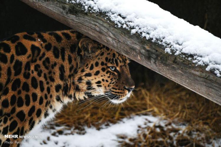 تصاویر حیوانات باغ وحش مسکو در فصل زمستان,عکس حیوانات در روسیه,تصاویری از حیوانات روسیه,عکس های باغ وحش مسکو