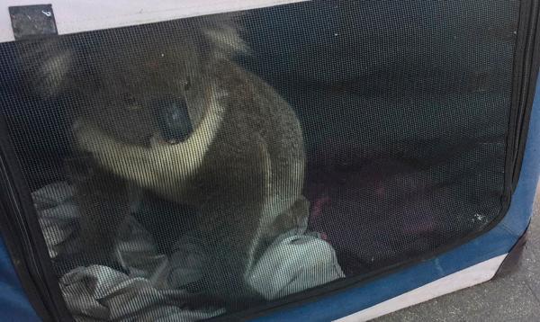 کوالا,کوالا عامل تصادف در استرالیا