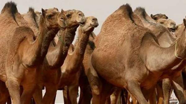 کافه ادرار شتر در عربستان,عربستان