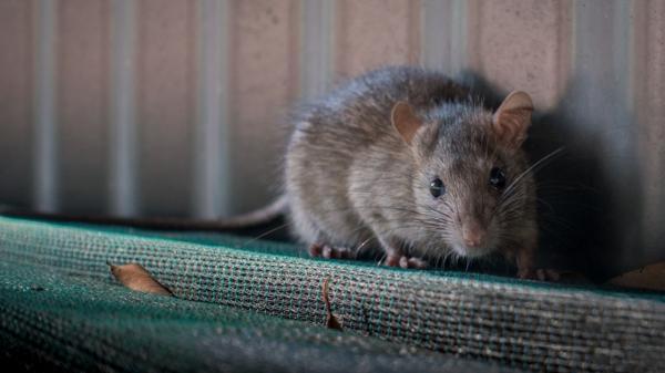 موش,چهره عجیب موش رو به انقراض