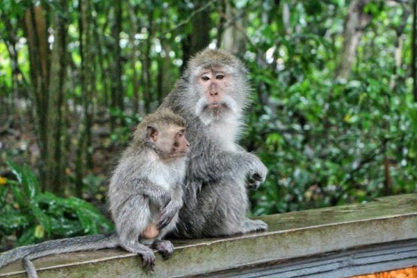 میمونهای اندونزی,سرقت توسط میمونهای اندونزی