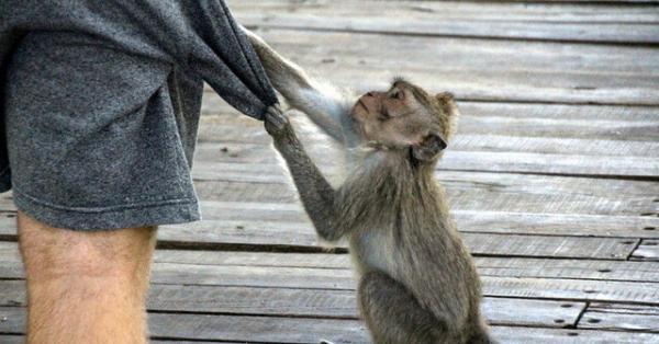 میمون,دزدی میمون ها