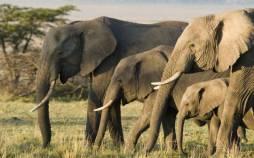 فیل,مقاومت فیل ها دربرابرسرطان