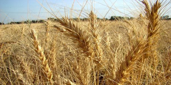 حمله ملخ ها و واردات گندم,ملخ ها