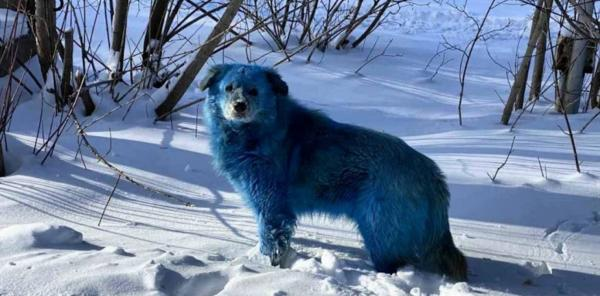 آبی شدن شگفت انگیز سگها,سگ