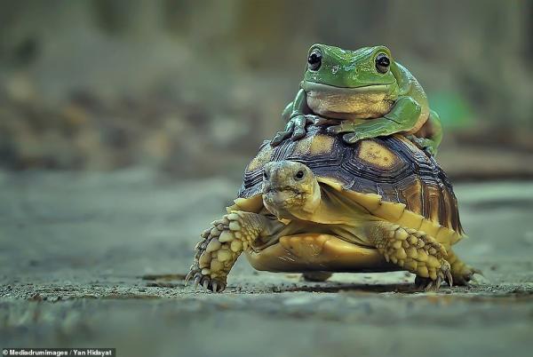 تاکسی لاک پشتی برای قورباغه تنبل,لاک پشت