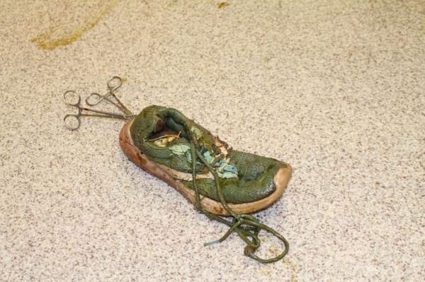 عمل جراحی تمساح 158 کیلویی,عمل جراحی تمساح