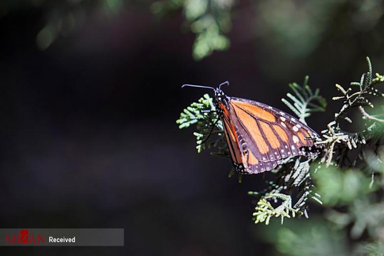 تصاویر شاه پروانههای مکزیک,عکس های پروانه ها در مکزیک,تصاویری از پروانه های مکزیک
