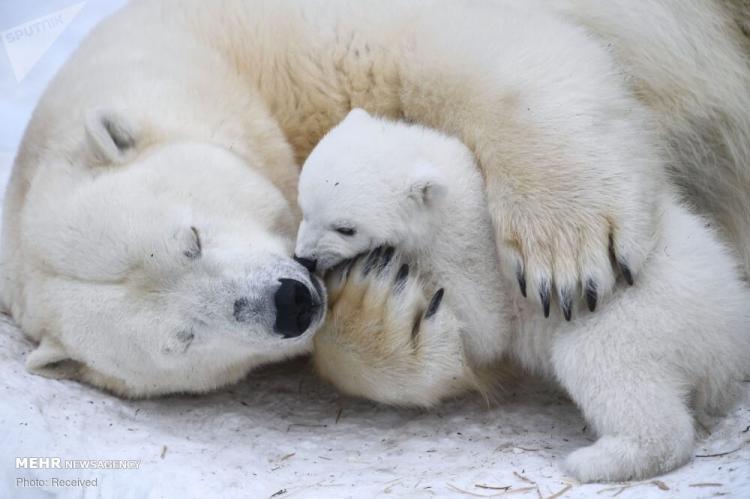 تصاویر روز جهانی خرسهای سفید قطبی,غکس خرس قطبی,تصاویری از خرس های قطبی