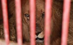 تصاویری با یک قلاده شیر در باغ وحش شیراز,باغ وحش
