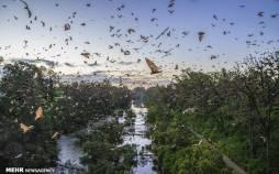 تصاویر هجوم خفاشهای قرمز به استرالیا,عکس های هجوم خفاش ها به استرالیا,تصاویر خفاش های قرمز در استرالیا